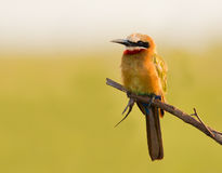 White Fronted Bee eater Royalty Free Stock Images