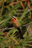 White-fronted Bee-eater royalty free stock photography
