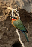 White-fronted Bee-eater. (Merops bullockoides) in the Okavango Delta, Botswana royalty free stock image