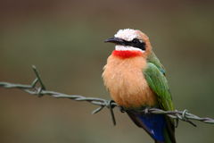 White-fronted Bee-eater Royalty Free Stock Images