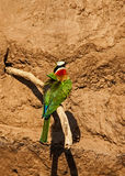 White-Fronted Bee-Eater Stockbilder