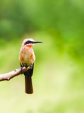 White fronted bee eater bird perched on a branch Royalty Free Stock Photos