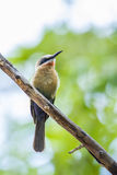 White-fronted Bee-eater in Kruger National park, South Africa Stock Photography