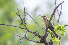 White-fronted Bee-eater in Kruger National park, South Africa Royalty Free Stock Image