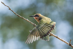White-fronted Bee-eater in Kruger National park, South Africa Stock Photos