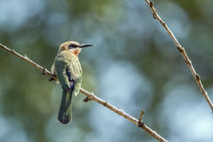 White-fronted Bee-eater in Kruger National park, South Africa Stock Images