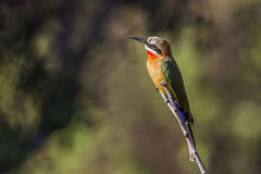 White-fronted Bee-eater in Kruger National park, South Africa Royalty Free Stock Photo