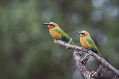 White fronted Bee eater in Mapungubwe National park, South Afric. Specie Merops bullockoides family of Meropidae Royalty Free Stock Photography