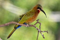 White-fronted Bee-eater Merops bullockoides, famil Stock Image