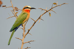 White-Fronted Bee-eater, (Merops bullockoides) Royalty Free Stock Images