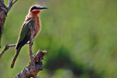 White-Fronted Bee-eater, (Merops bullockoides) Royalty Free Stock Photography