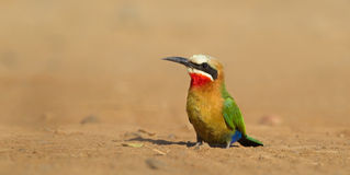 White fronted Bee-eater Royalty Free Stock Photos