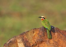 White fronted Bee-eater on rock Stock Photos