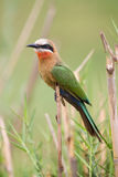 White fronted bee-eater sit on reed waiting for the next inset t Stock Photos