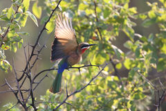 White fronted bee eater sitting on branch to hunt for insects Royalty Free Stock Photography
