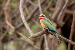 White Fronted Bee Eater Stock Photography