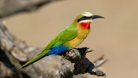 White Fronted Bee Eater Royalty Free Stock Photography
