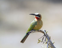 White Fronted Bee Eater Stock Images