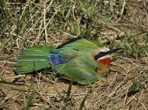 White fronted bee eater taking a sunbath. White fronted bee eater, Merops bullockoides, is lying flat on the ground with it wings outstreched, taking a sunbath stock images