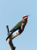 White-fronted Bee-Eater on tree branch Stock Photography