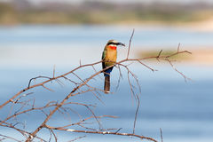 White fronted Bee-eater on tree Stock Photos