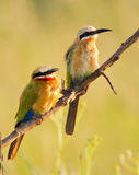 White Fronted Bee eaters Stock Image