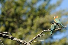 White fronted bee eaters Royalty Free Stock Photos