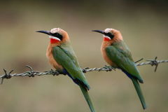 White-fronted Bee-eaters Royalty Free Stock Photography