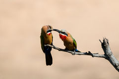White fronted bee-eaters feeding each other Royalty Free Stock Photography