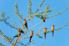 White-fronted bee-eaters on a tree - national park selous game reserve in east africa royalty free stock photos