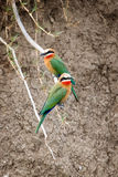 White fronted bee eaters Stock Photos