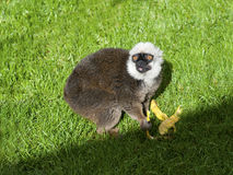 White Fronted Brown Lemur Stock Photo