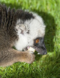 White Fronted Brown Lemur Stock Images