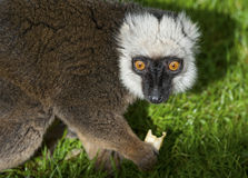 White Fronted Brown Lemur Stock Image