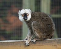 White Fronted Brown Lemur Royalty Free Stock Image