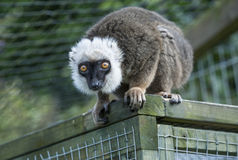 White Fronted Brown Lemur Royalty Free Stock Images