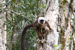 White-fronted brown lemur (Eulemur fulvus albifrons) Stock Image