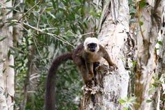White-fronted brown lemur (Eulemur fulvus albifrons). Madagascar stock image