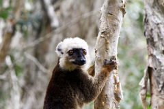 White-fronted brown lemur (Eulemur fulvus albifrons). Madagascar royalty free stock images