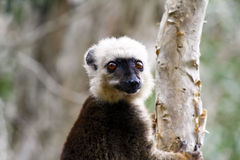 White-fronted brown lemur (Eulemur fulvus albifrons) Royalty Free Stock Images