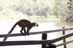 White-fronted brown lemur (Eulemur fulvus albifrons). Madagascar stock images