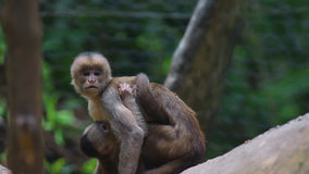 White-fronted capuchin with baby. Common names: mono capuchino. Royalty Free Stock Photos