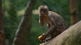 White-fronted capuchin eating papaya. Common names: mono capuchino. Royalty Free Stock Photography