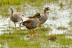 White Fronted Geese Stock Images