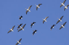 White-fronted Geese. (Anser albifrons) in flight Royalty Free Stock Photos