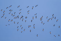 White Fronted Geese Stock Photo
