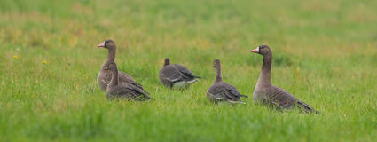 White-fronted Geese family on grass Stock Images