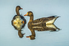 White Fronted Geese on pond at Sacramento National Wildlife Refuge Royalty Free Stock Images
