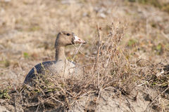 White Fronted Goose Stock Photography