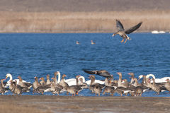 White fronted Goose Royalty Free Stock Image